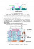 Imagine document Fiziologia Muschilor