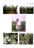 Analiza cultivarii a doi hibrizi de porumb atat in regim irigat cat si neirigat