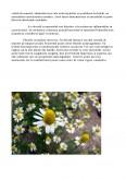 Plante cu Actiune Fitoterapeutica - Musetelul
